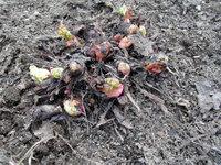 Rhubarb_04